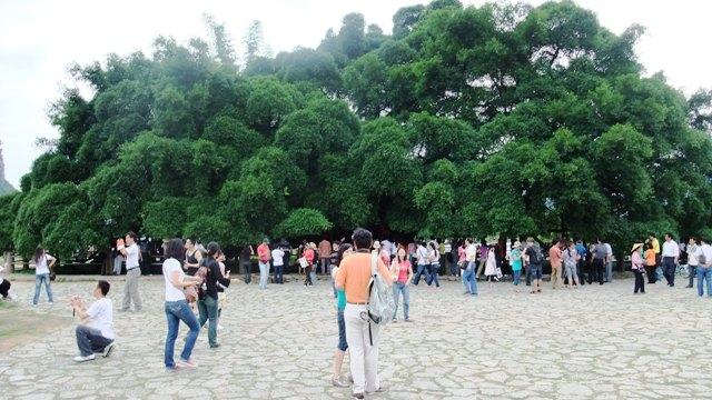 桂林旅行大きな木1.JPG
