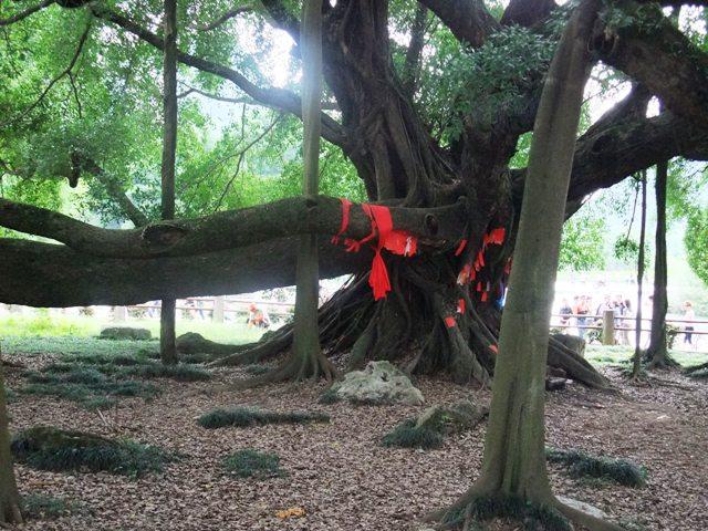 桂林旅行大きな木2.JPG